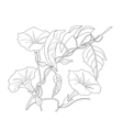 Bindweed Sketch black and white vector image vector image