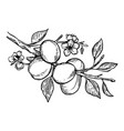 apricot plant engraving vector image