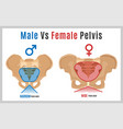 female male pelvis-09 vector image vector image