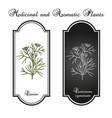 aromatic plant cumin cuminum cyminum vector image vector image