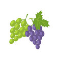 two sorts grape green and lilac fresh fruits vector image