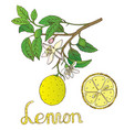 lemon 1 vector image vector image