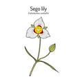 sego lily calochortus nuttallii state flower vector image
