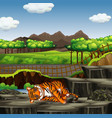 scene with tiger in zoo vector image vector image