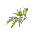 bamboo green leaves - of vector image vector image