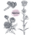 collection hand drawn thistle or carduus vector image