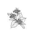 linden blossom black ink vector image vector image