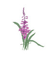Fireweed or willowherb hand drawn on white