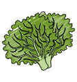 lettuce fresh isolated icon vector image vector image