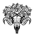 rose tattoo with skull of a sheep isolated vector image vector image