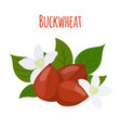 buckwheat plant cereal grains flat style vector image vector image
