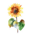 watercolor sunflower isolated on white background vector image