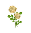 two realistic tea roses isolated on a white vector image