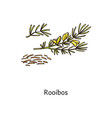 roobos plant drawing with fresh green leaf and vector image vector image