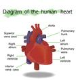 Human Heart Anatomy vector image