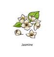 jasmine drawing set - hand drawn white flower vector image