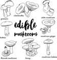 doodle edible mushrooms vector image vector image
