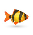 Clown loach tiger aquarium fish isolated on white vector image