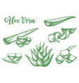alor vera plant leaf drops sketch vector image vector image