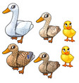maturation stages of duck three stages of growth vector image vector image