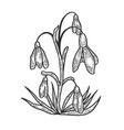 snowdrop galanthus flower sketch engraving vector image vector image