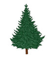 cartoon evergreen pine tree on white background vector image vector image