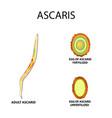 ascaris the structure fertilized unfertilized egg vector image vector image
