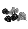 blackberry sketch vector image