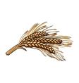 Hand drawn bunch of malt barley ears vector image