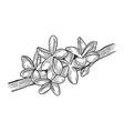 plumeria flower sketch engraving vector image vector image