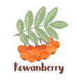 rowan forest berry vector image