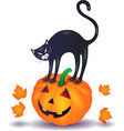 black cat with pumpkin halloween vector image