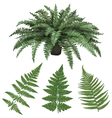 Fern and fern leaves hand drawn vector image vector image