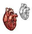 human heart organ sketch icon vector image vector image