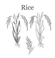 rice plant vector image vector image