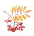 Hand painted watercolor twig rowan branch vector image vector image
