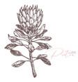 king tropical protea sketch vector image