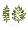 coffee plant bush coffee tree coffea arabica red vector image vector image