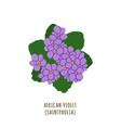 african violet tropical flower