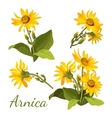 Arnica floral composition Set of flowers with vector image vector image