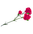 red carnation flower bouquet bud isolated on white vector image vector image