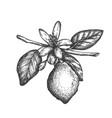hand drawn lemon in vintage vector image vector image