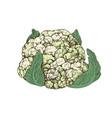 hand drawn cauliflower vector image vector image