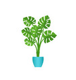 monstera potted plant in pot in flat design vector image vector image