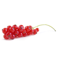 redcurrant berry vector image vector image