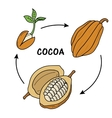 The life cycle of cocoa vector image vector image