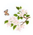 branch apple tree with flowers and butterfly vector image