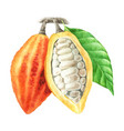 watercolor cocoa pods with leaves vector image vector image