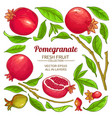 pomegranate elements set vector image vector image