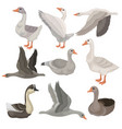 flat set of large geese in different vector image